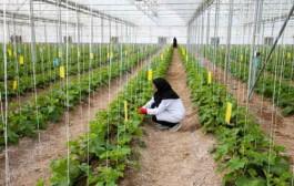 کاهش ۱۰ برابری مصرف آب در کشاورزی گلخانهای