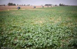 کشت ۵۰۰ هکتاری سبزیجات آلوده با آب فاضلاب در جنوب تهران