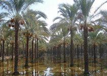 افزایش بهرهوری آب با اصلاح شیوه آبیاری نخیلات در بوشهر