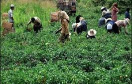 معرفی کشاورزان نمونه در سالجاری/ عملکرد ۲ برابر کشت گندم با آببندی طیف در مزارع اجرایی است