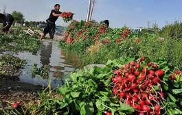 ۳۰ درصد اراضی کشاورزی شهرستان ری با فاضلاب آبیاری می شود
