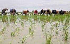 اعتراض برنجکاران مسیر کانال کوثران؛ آب هست اما کشت ممنوع است!