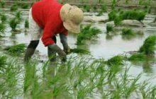 آیا می دانید علت اصلی پر کردن آب در شالیزارها جلوگیری از رشد علف های هرز است!